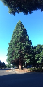 A panoramic portrait of a 180 ft pine tree. They line the street west of my place