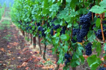 Grapes grwoing in the Willamette Valley just 35 miles southwest of Portland.